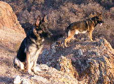 Male and female AKC Alpha German Shepherds without Alpha German Shepherd Puppies